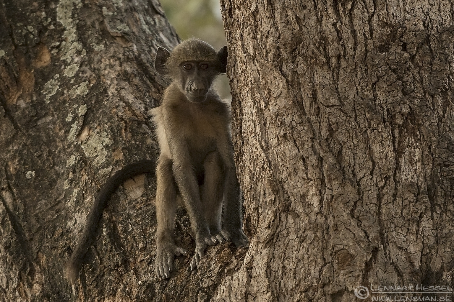 Young Chacma Baboon Kruger National Park South Africa