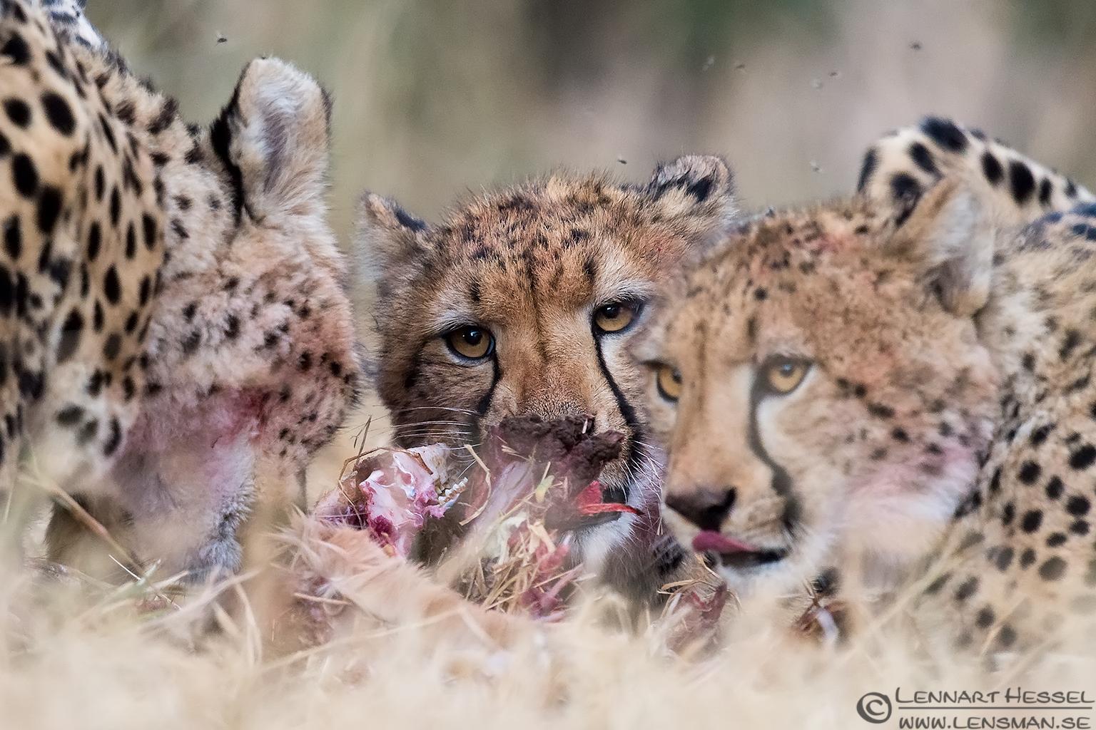 Cheetah juveniles eating Kruger National Park South Africa
