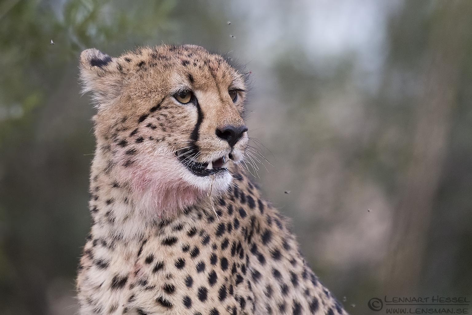 Chettah Kruger National Park South Africa