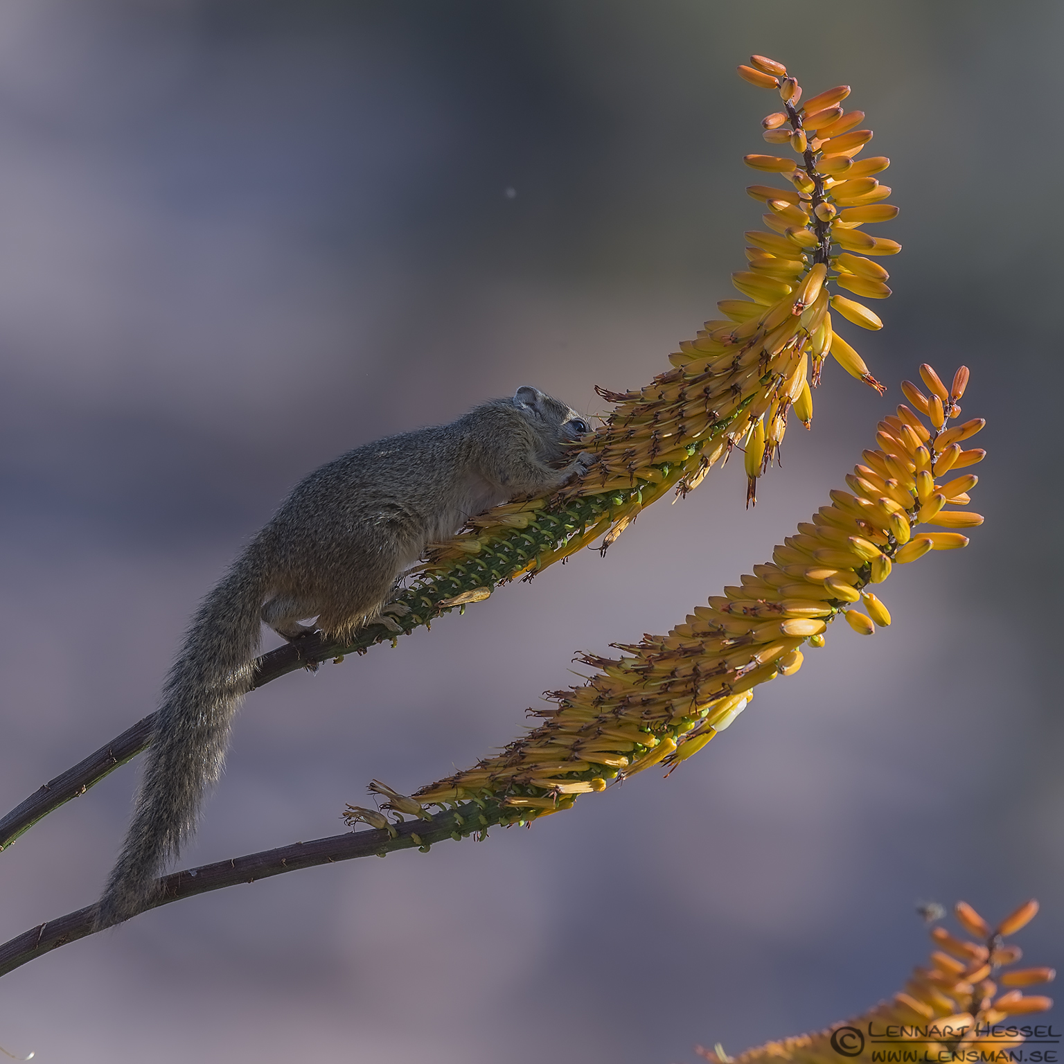 Ground Squirrel Kruger National Park South Africa