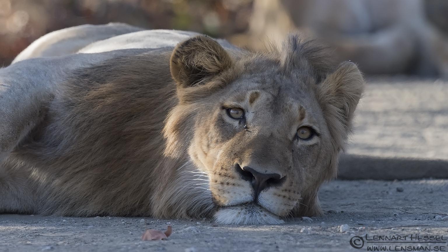 Male Lion Kruger National Park South Africa