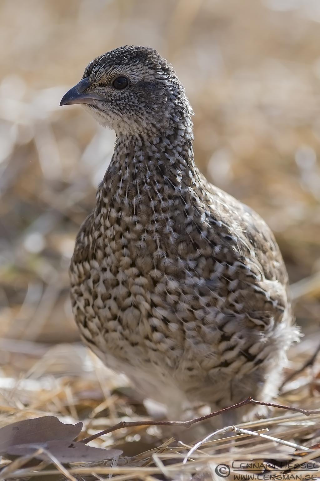 Natal Spurfowl Kruger National Park South Africa