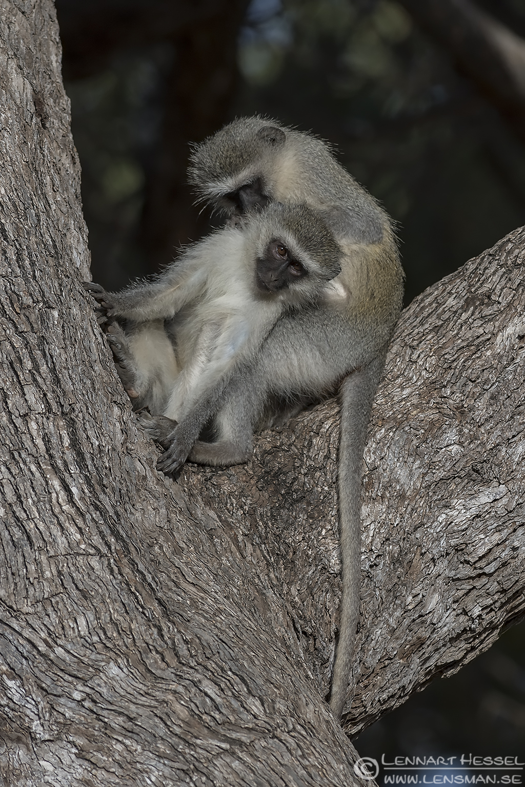 Groomin Vervet Monkeys Kruger National Park South Africa