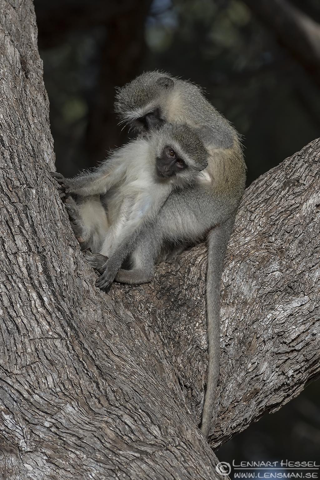 Groomin Vervet Monkeys Kruger National Park South Africa