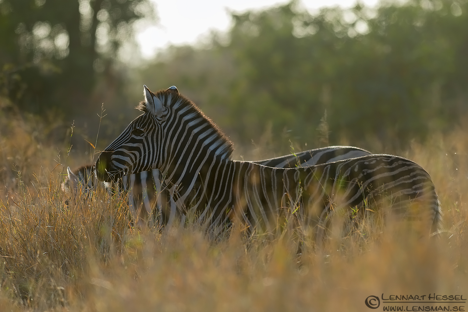 Zebra Kruger National Park South Africa