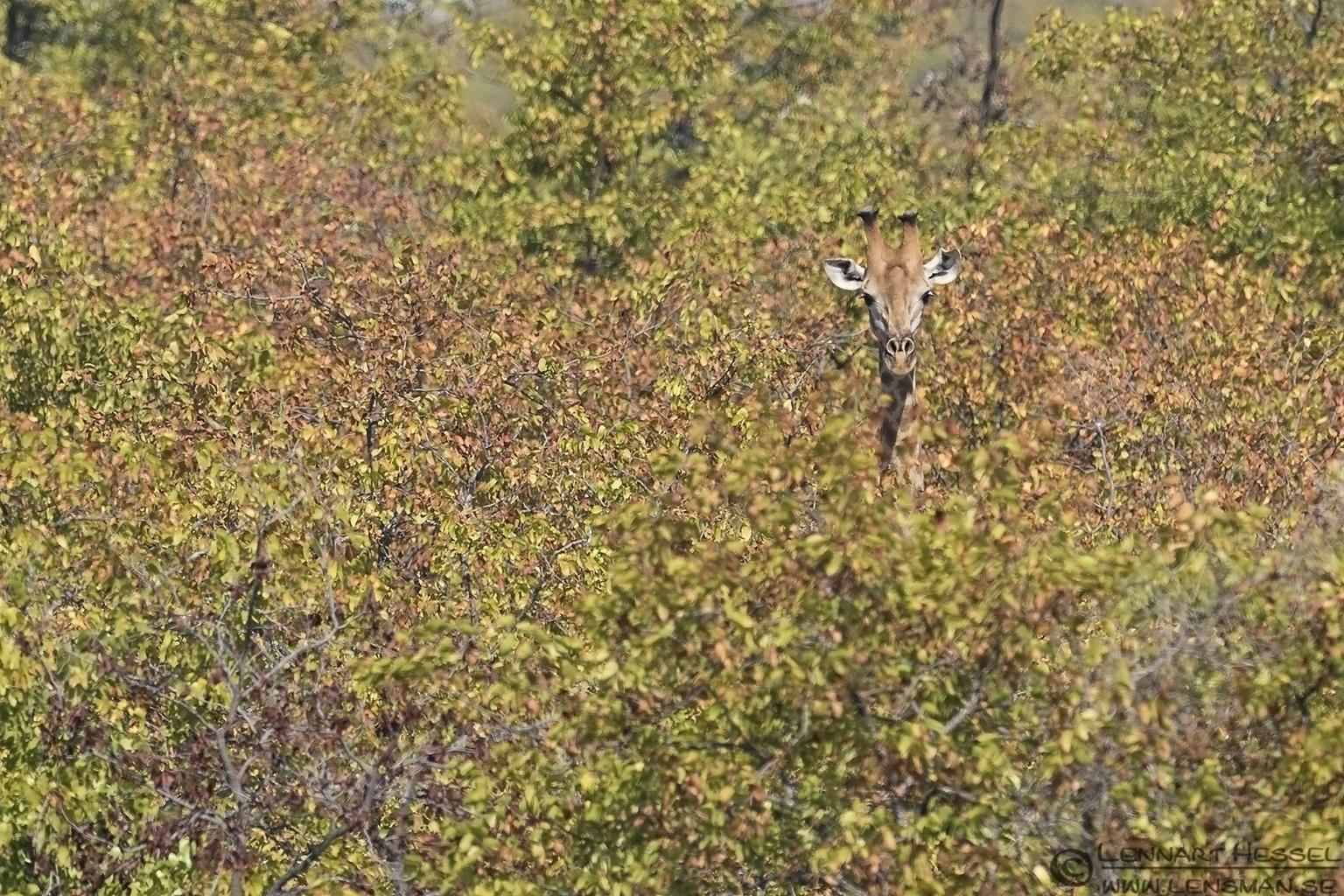 Giraffe in habitat Kruger National Park South Africa