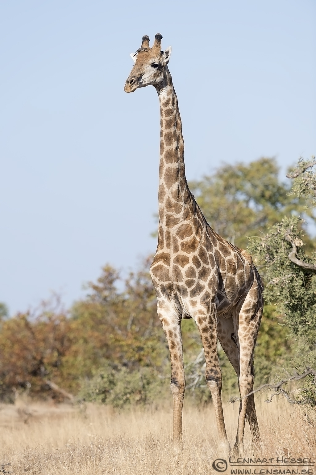 Giraffe Kruger National Park South Africa