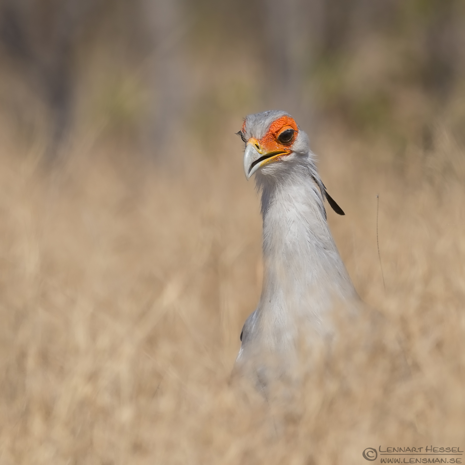 Secretary bird searching Kruger National Park South Africa