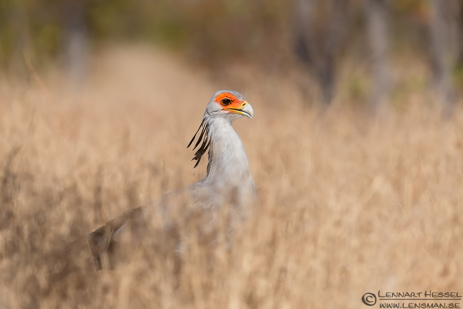 Secretary bird Kruger National Park South Africa