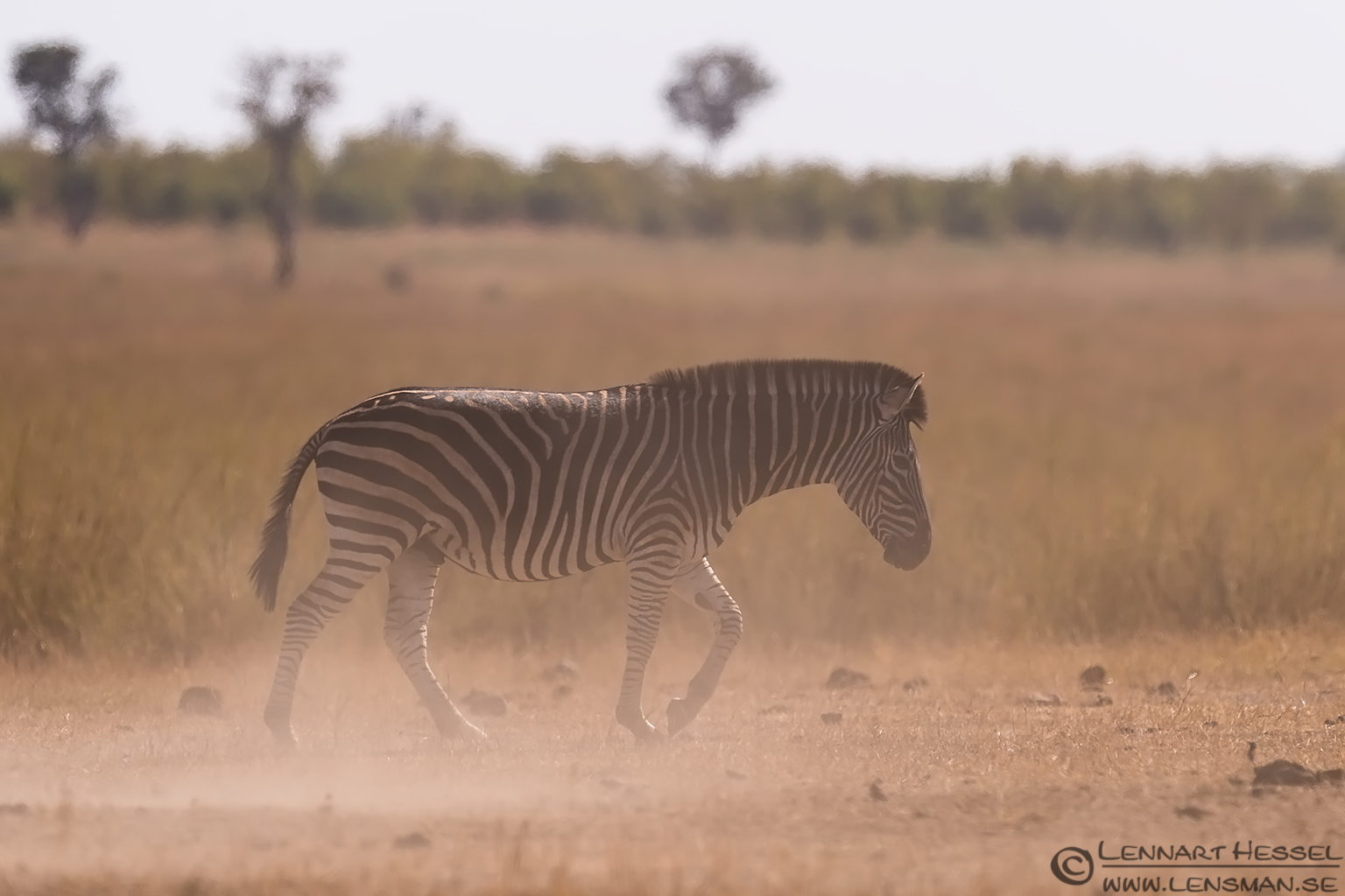 Zebra in the dust Kruger National Park South Africa