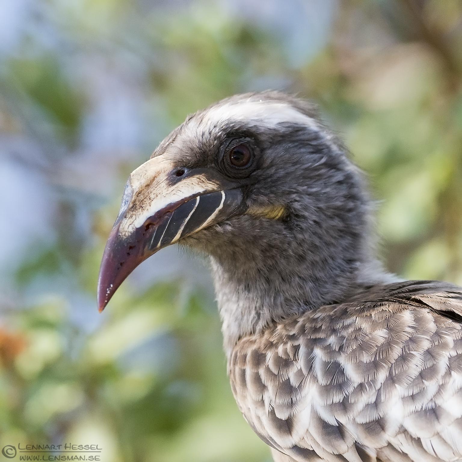AFrican Grey Hornbill Kruger National Park South Africa