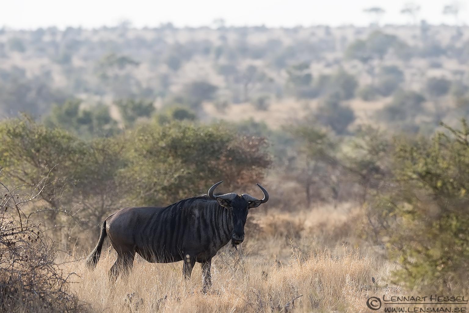 Blue Wildebeast Kruger National Park South Africa