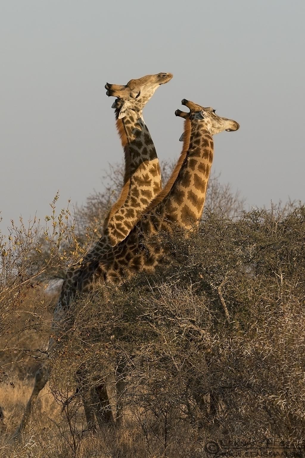 Fighting Giraffes Kruger National Park South Africa