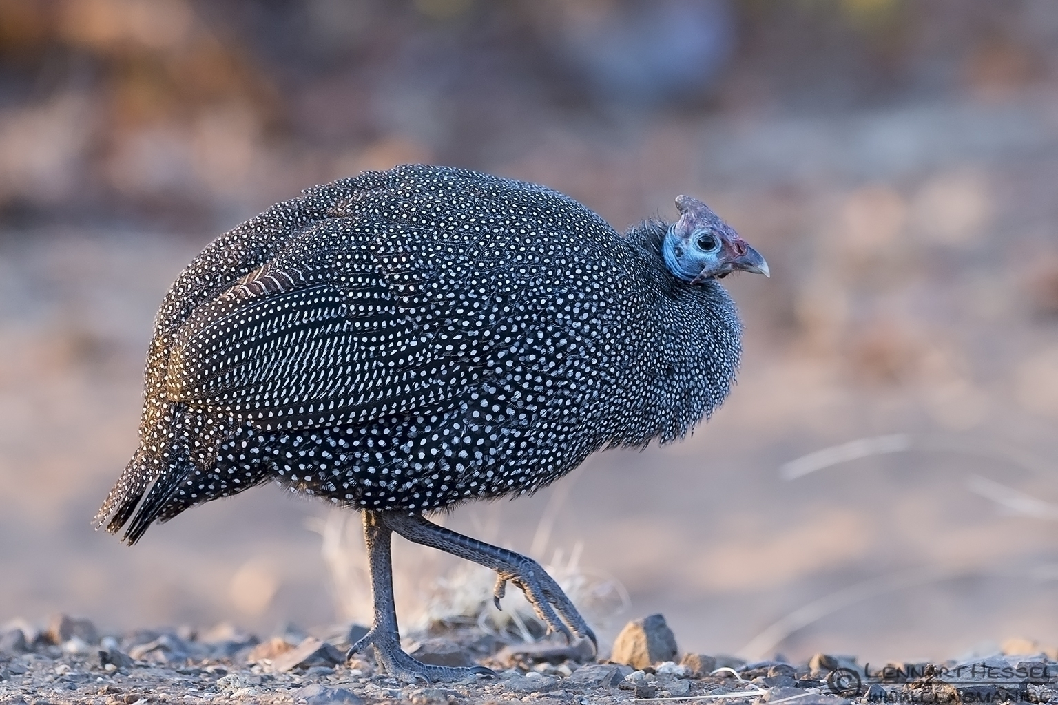 Helmeted Guineafowl Kruger National Park South Africa