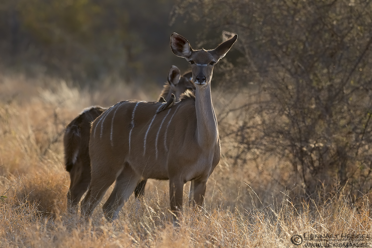Kudu female Kruger National Park South Africa