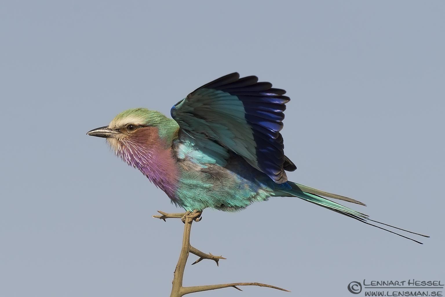 Lilac-breasted Roller Kruger National Park South Africa