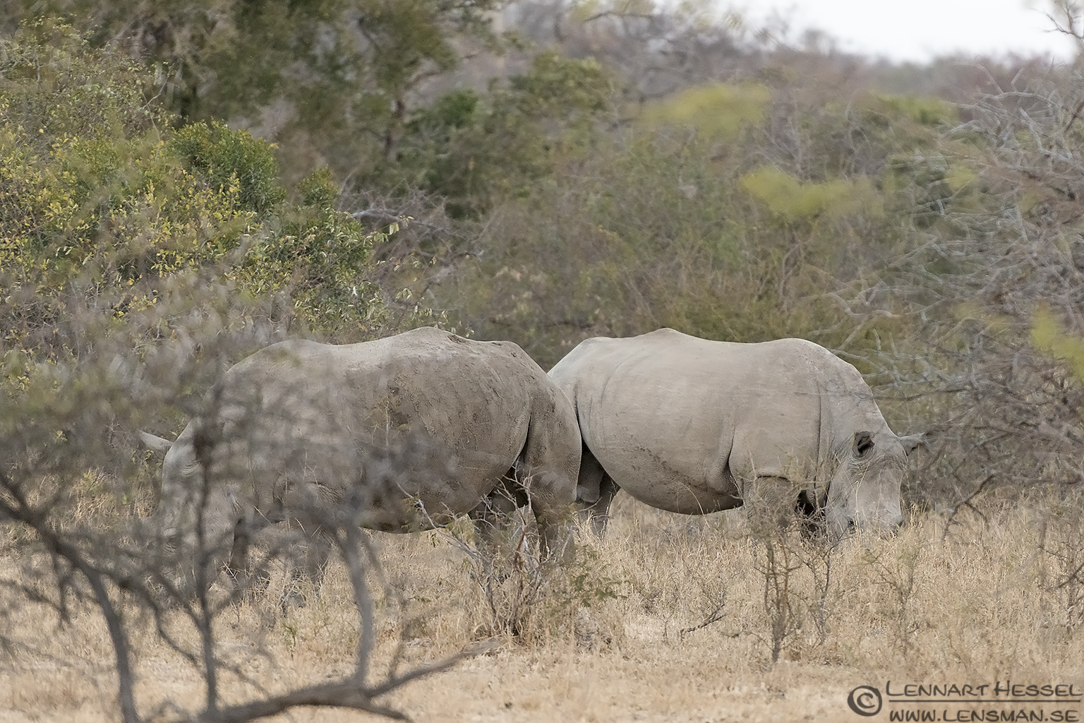 White Rhinos Tshukudu Game Reserve South Africa
