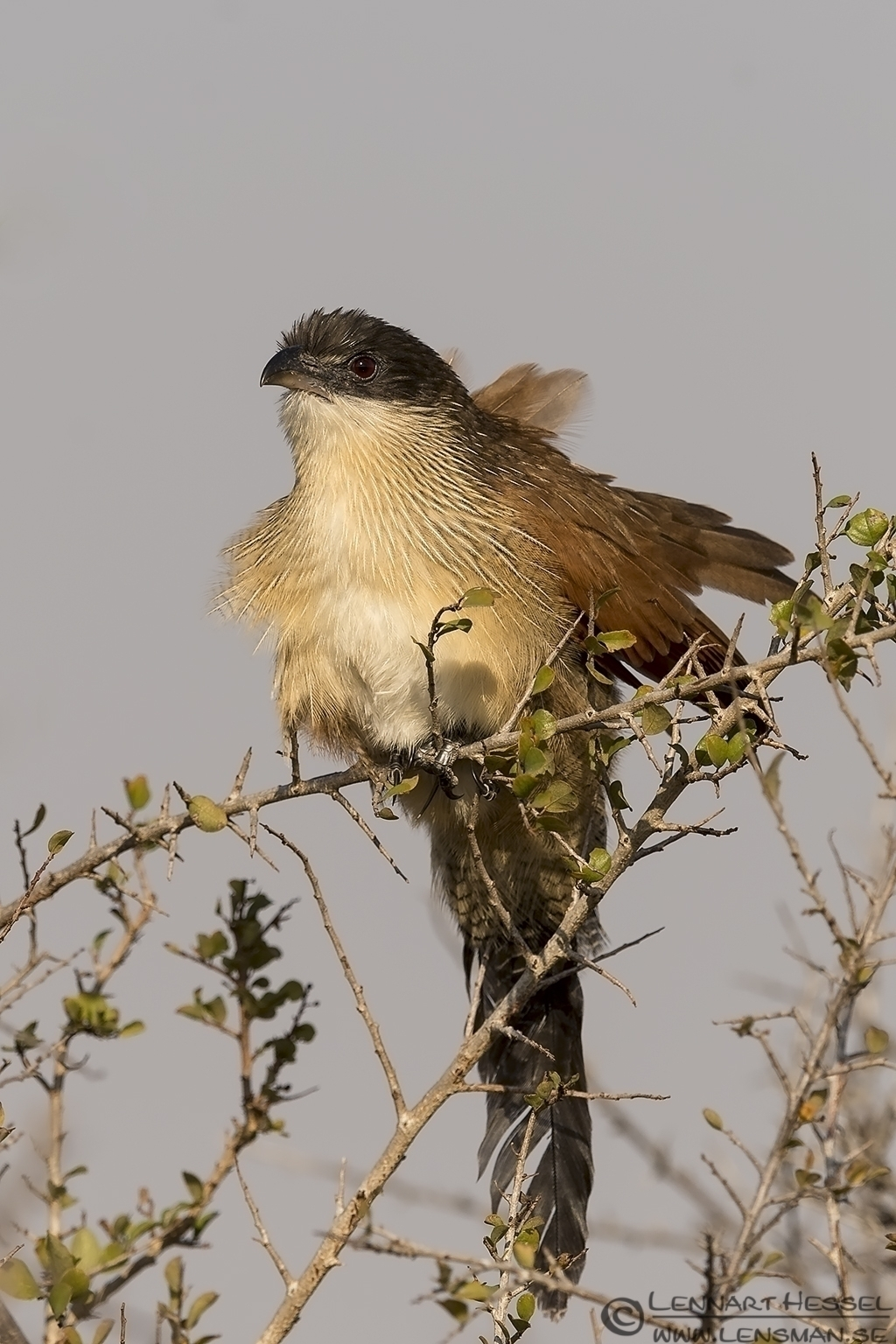 White-browed Coucal Kruger National Park South Africa