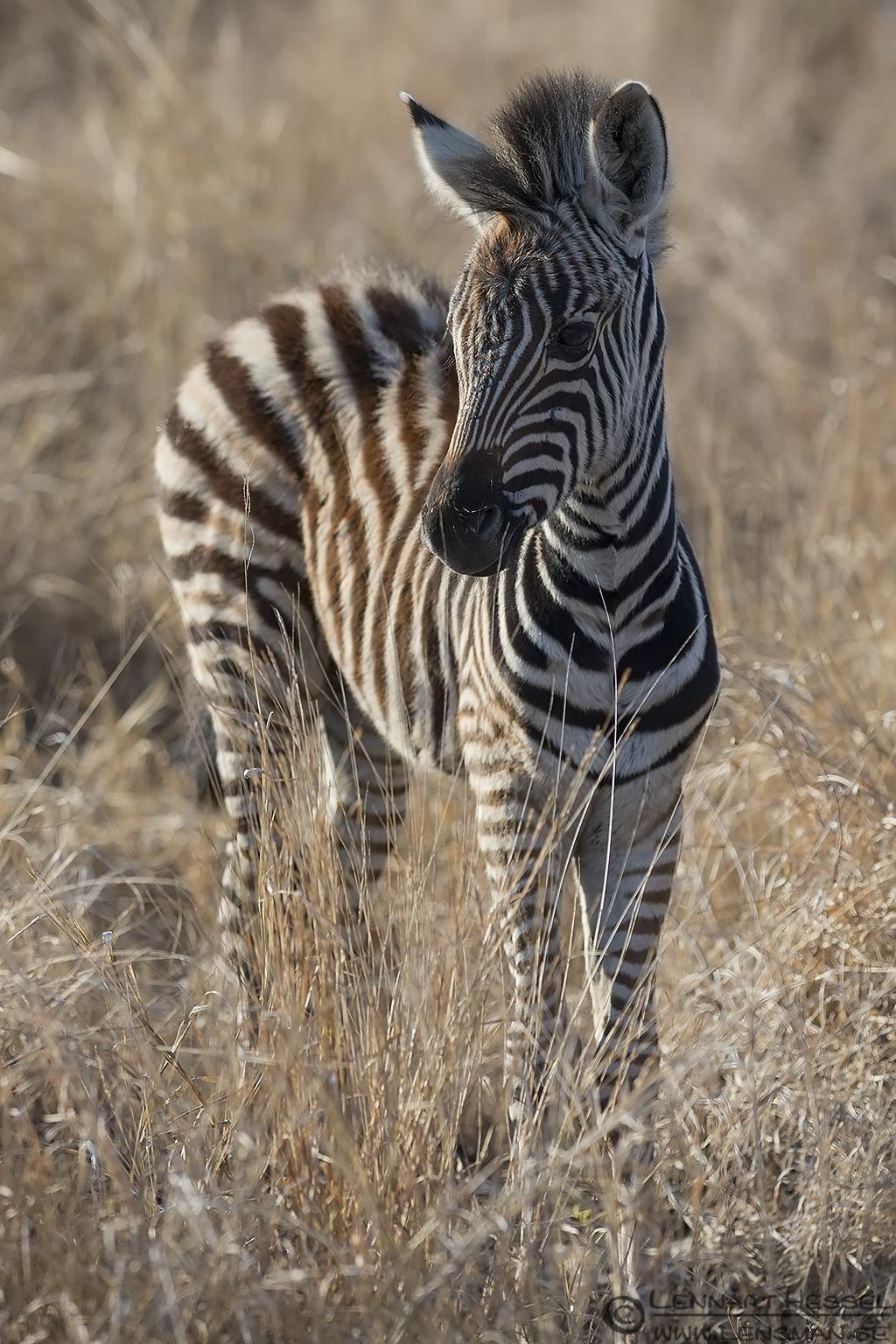 Zebra foal Kruger National Park South Africa
