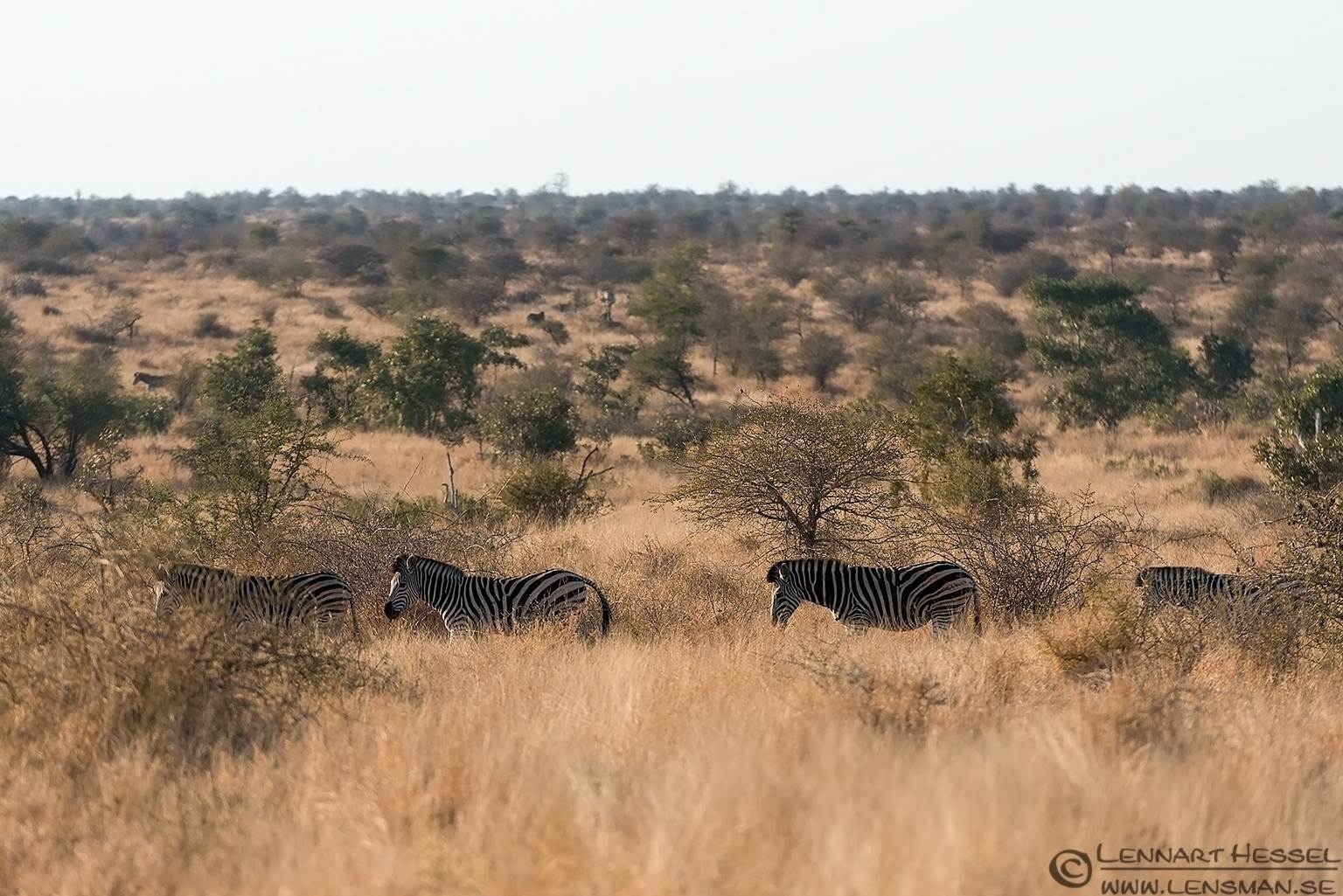Zebras on a row Kruger National Park South Africa