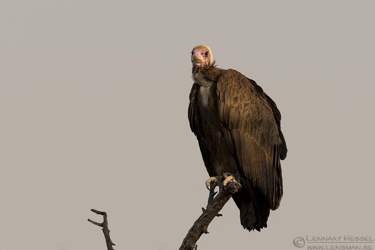 Hooded Vulture Tshukudu Game Reserve South Africa