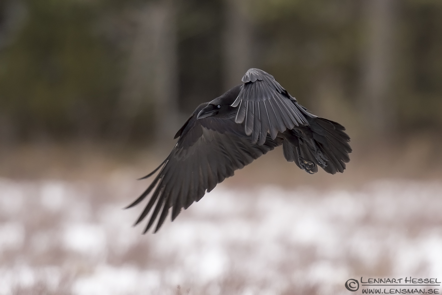 Common Raven Eagle Photography
