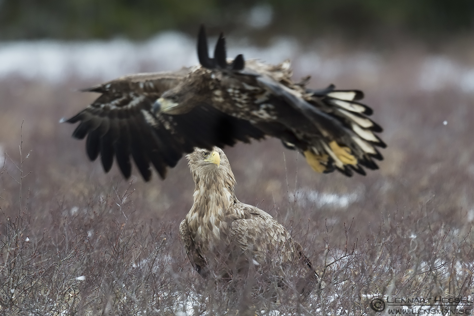 White-tailed Eagles Eagle Photography