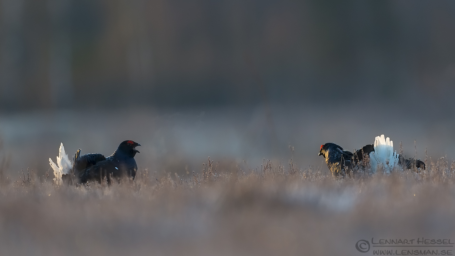 Black Grouse combatants start lek season