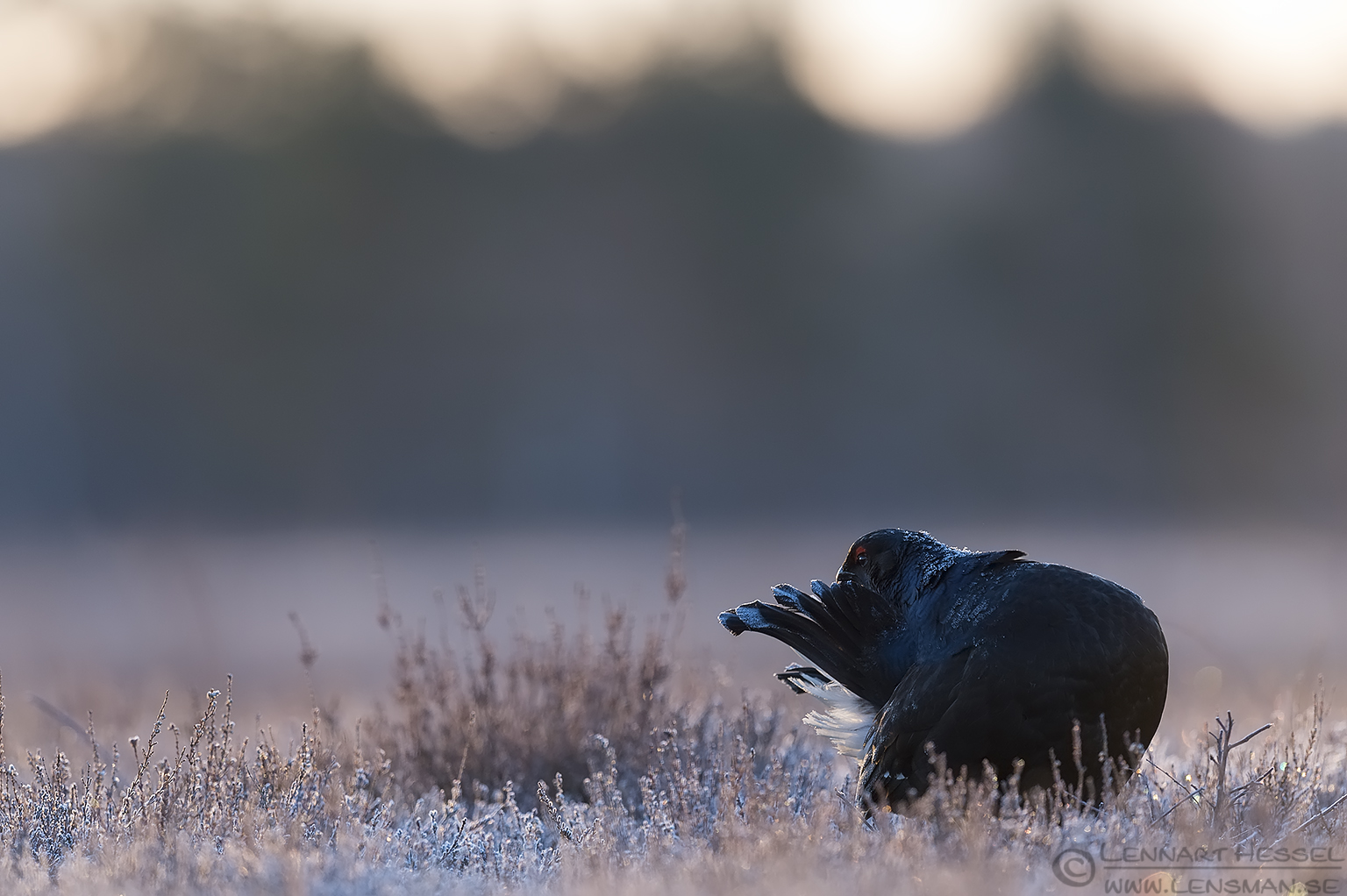 Black Grouse preening start lek season