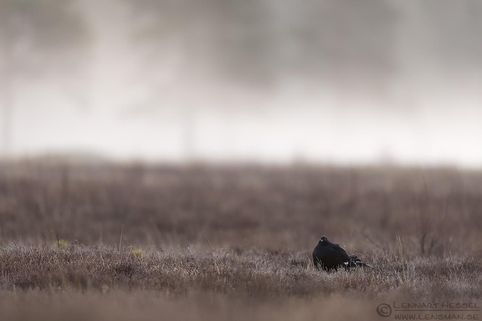 Black Grouse lek Lake Hornborga