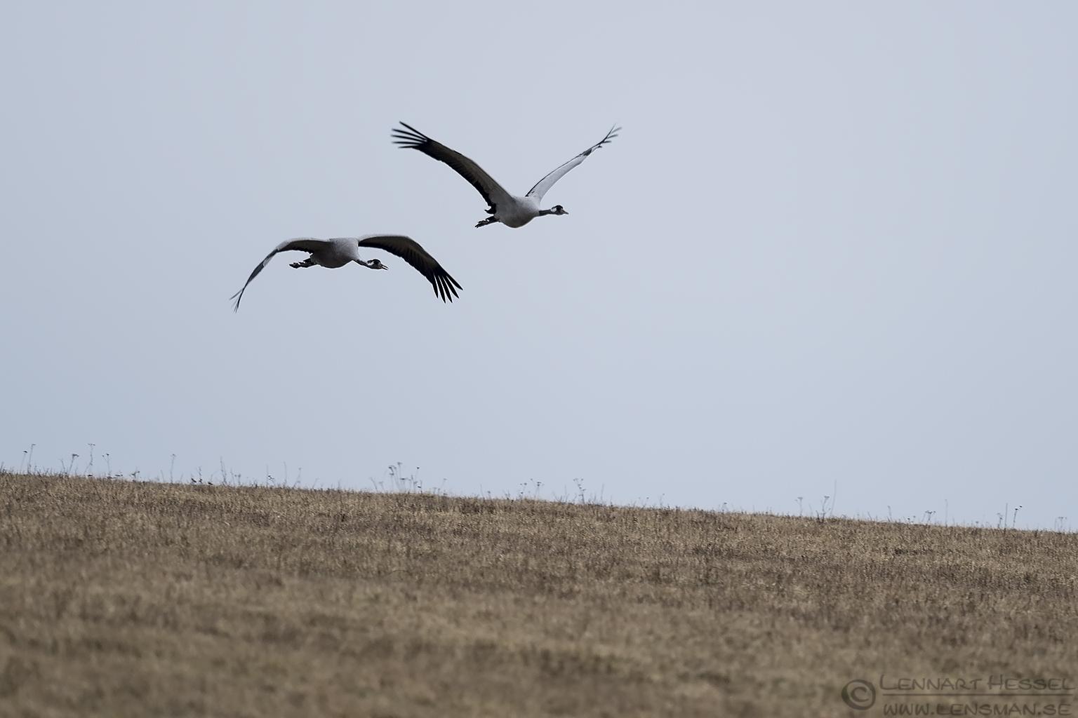 Common Cranes Lake Hornborga