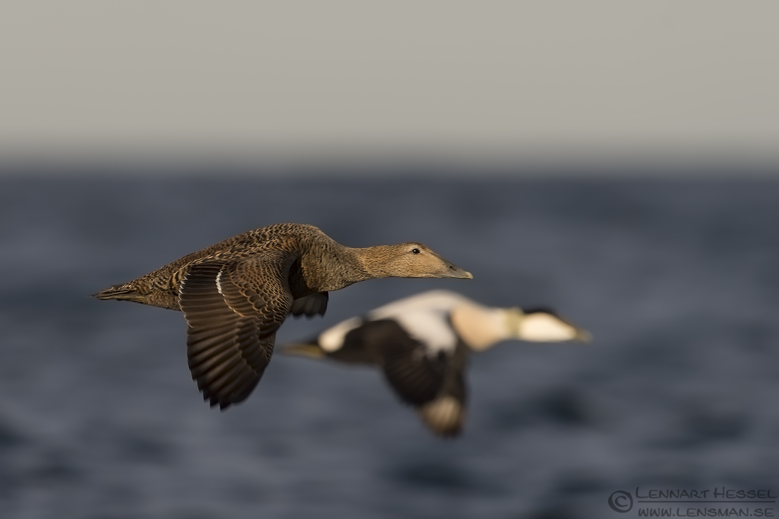 Common Eider Photography