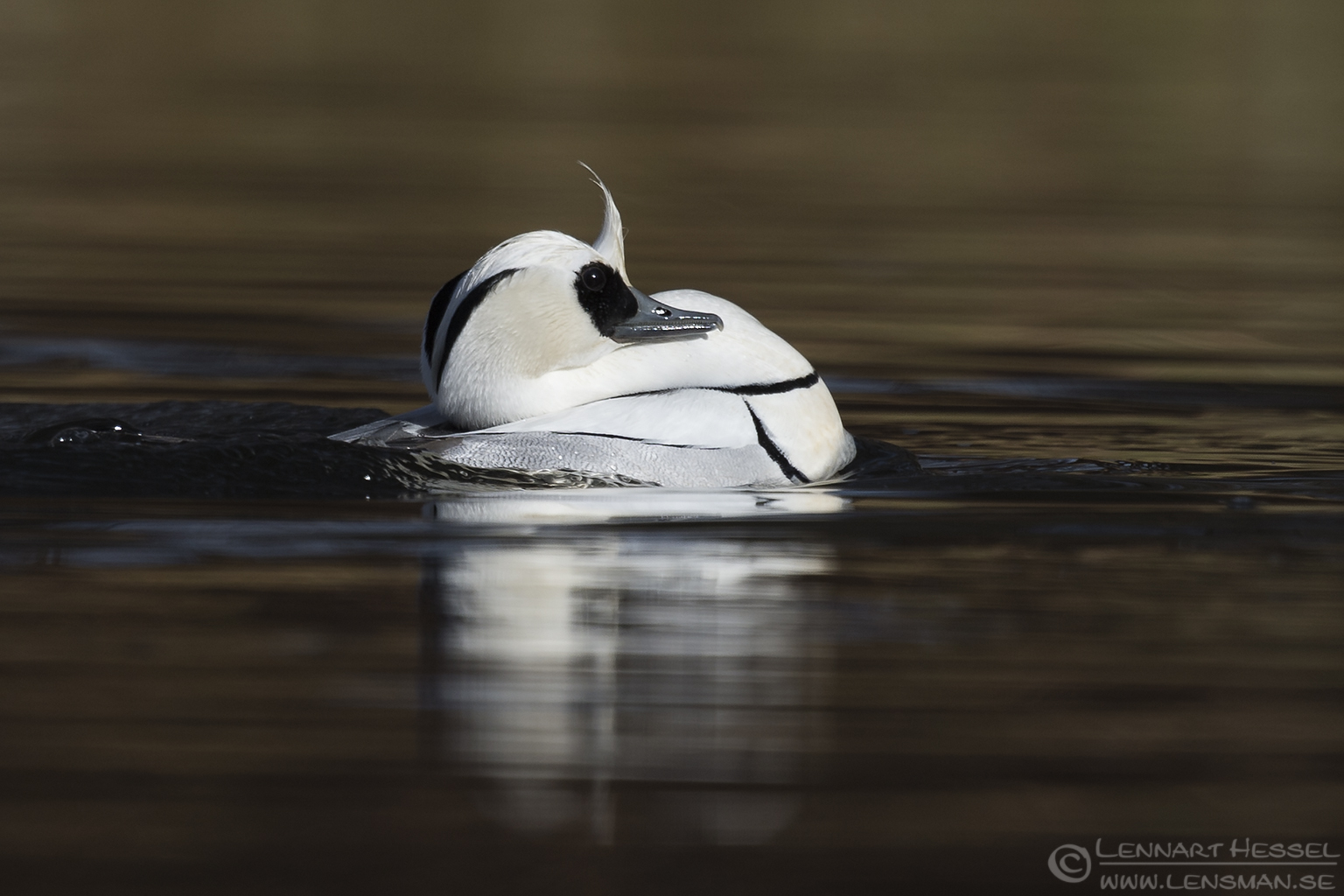 Tough Smew