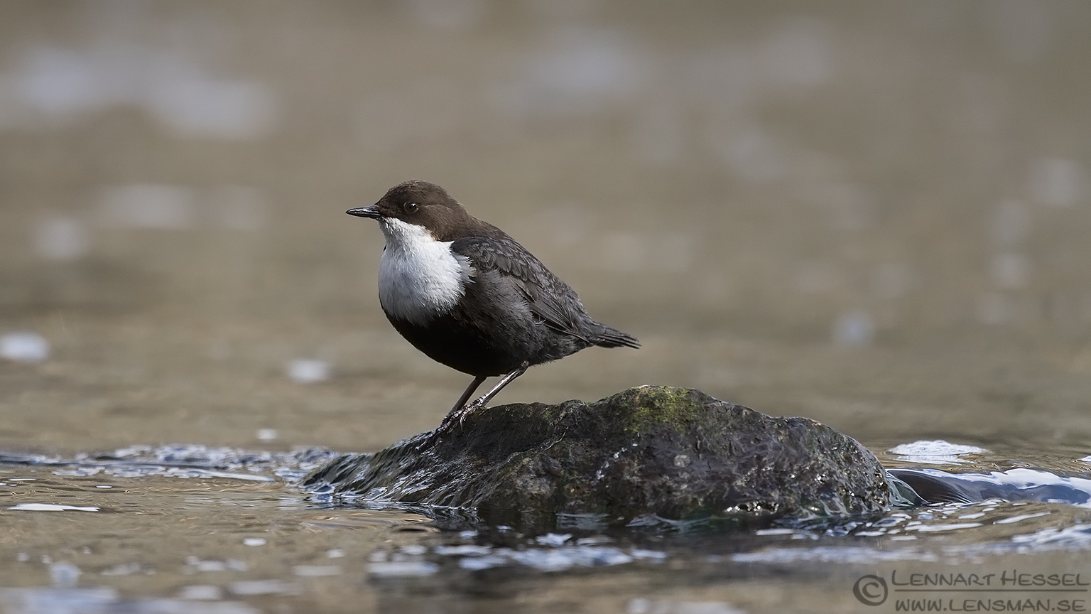 White-throated Dipper Säveån flying