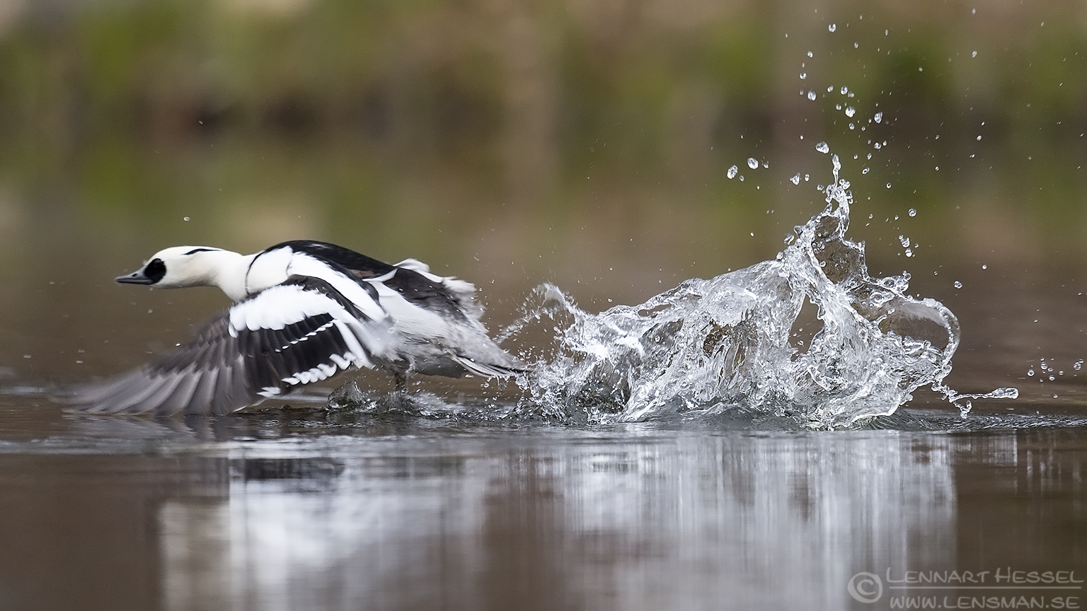 Smew take-off spring