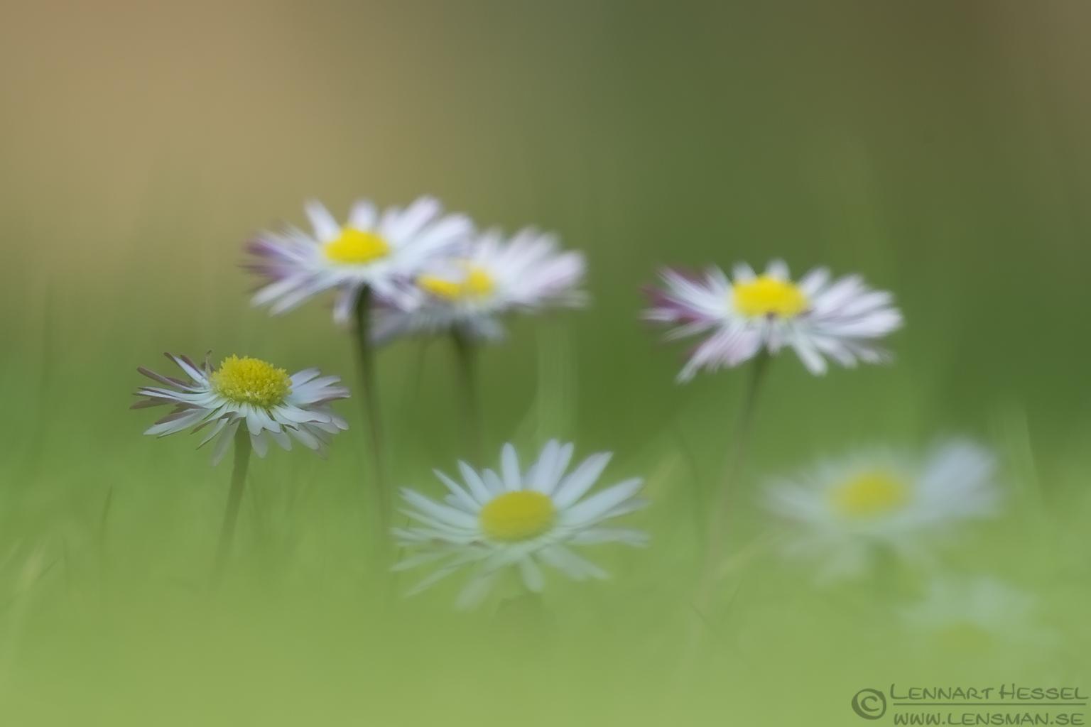 Bellis perennis spring