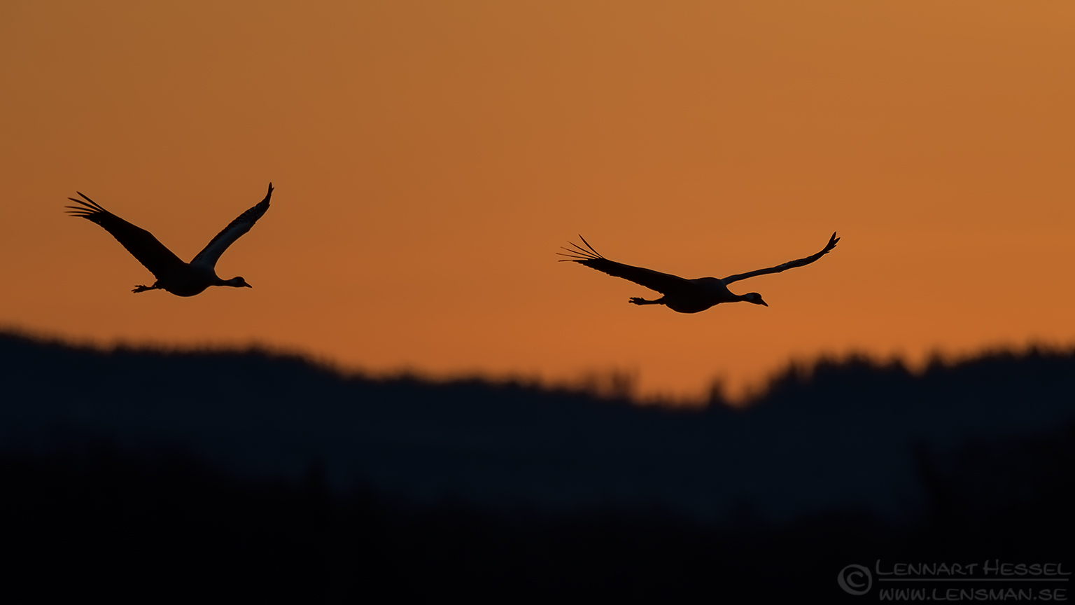 Common Cranes spring