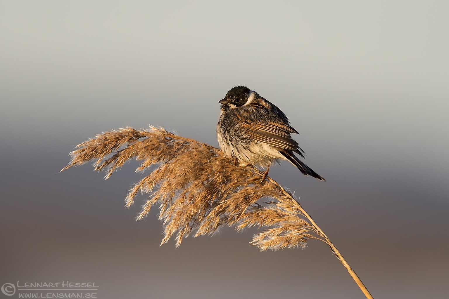 Reed Bunting spring