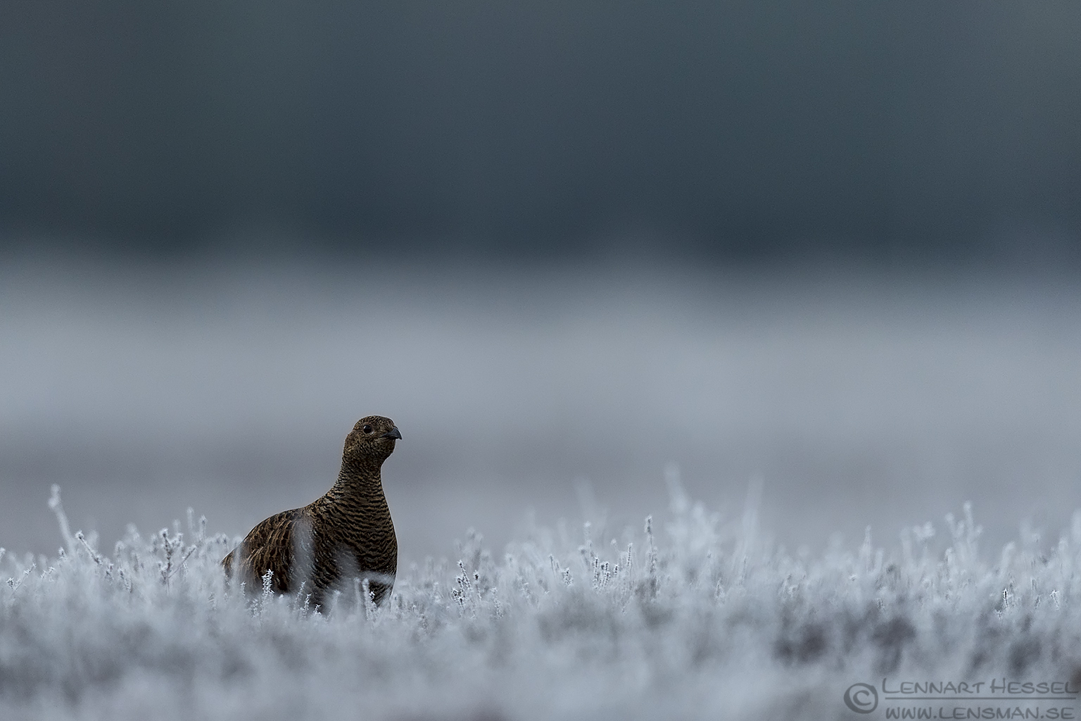 Black Grouse visitor