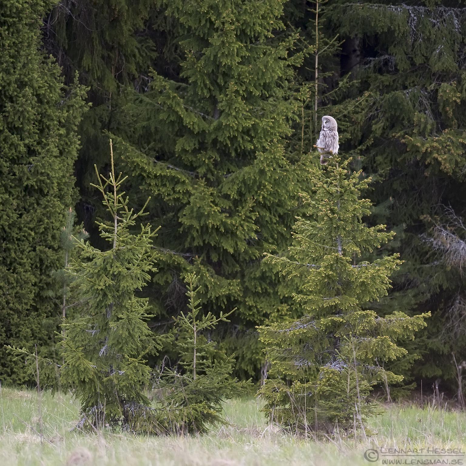 Great Grey Owl Västmanland