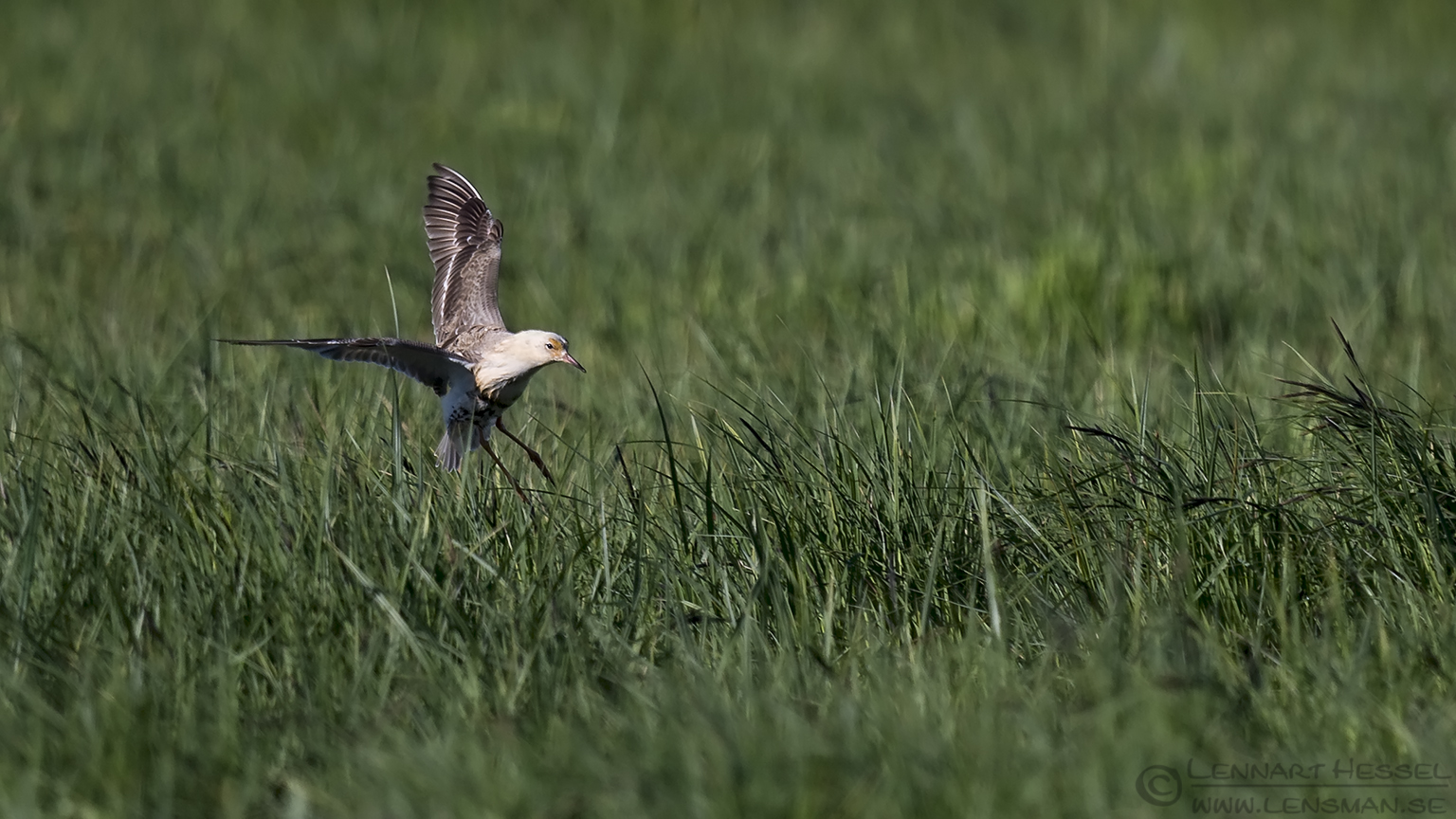 Male Ruff landing Västmanland
