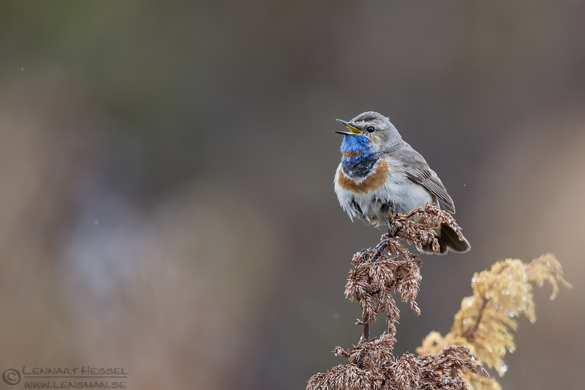 Singing Bluethroat dovrefjell 150525