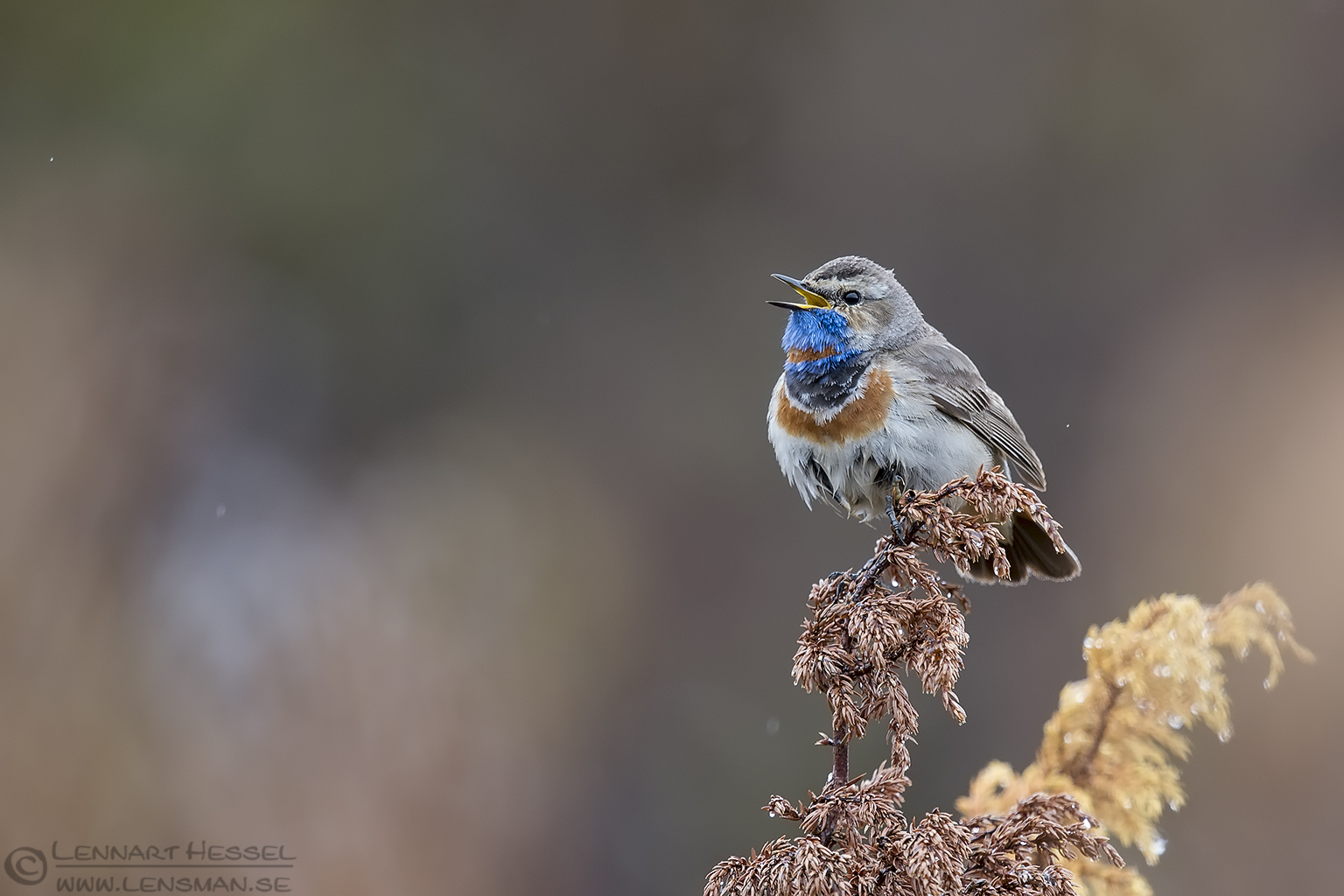 Singing Bluethroat 150525