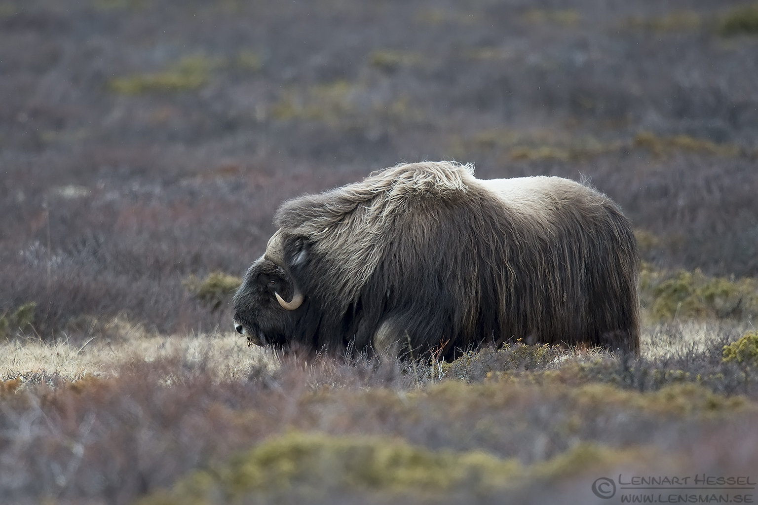 Muskox in the rain Dovrefjell
