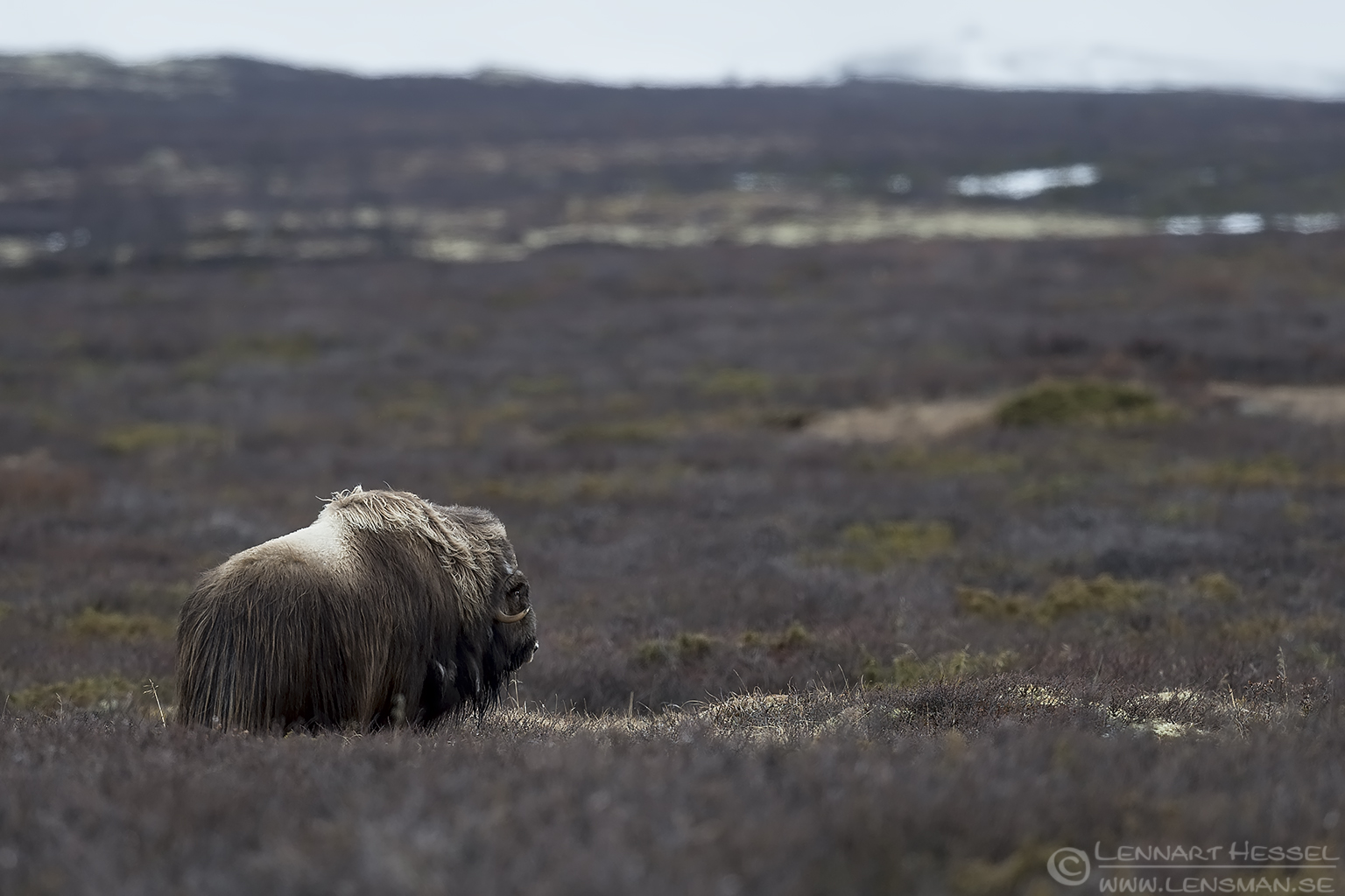 Muskox looking Dovrefjell