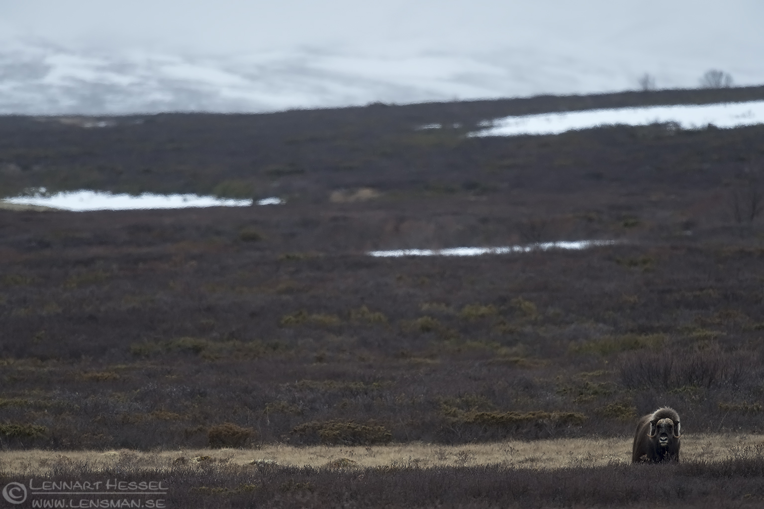 Muskox vista Dovrefjell
