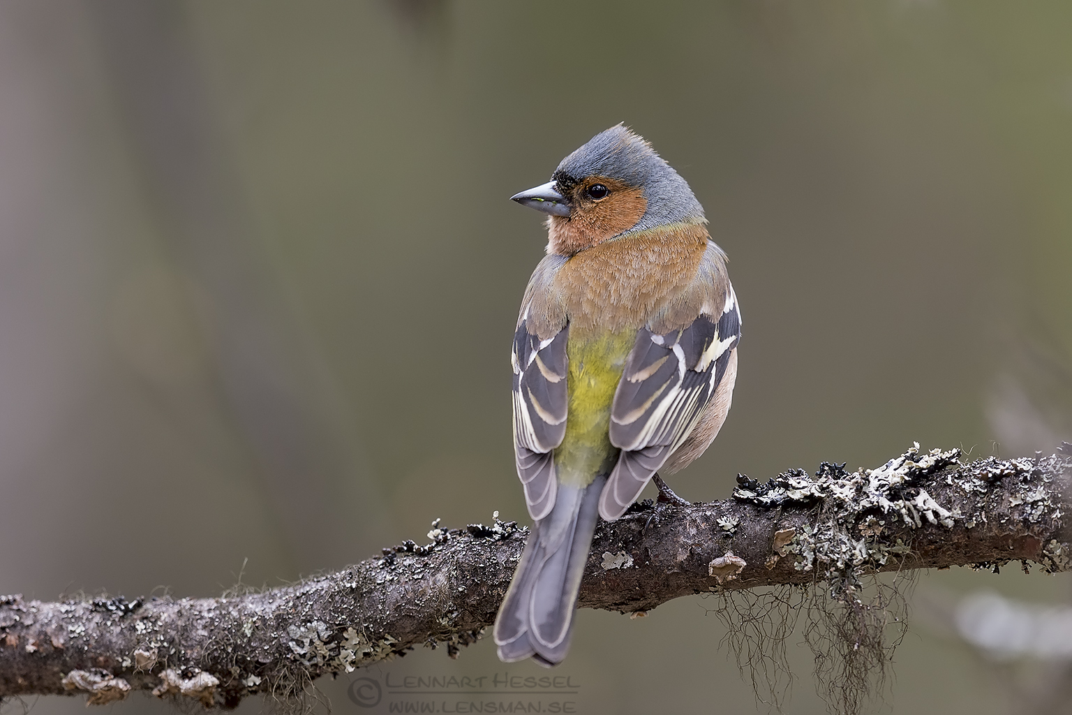 Common Chaffinch Scandes