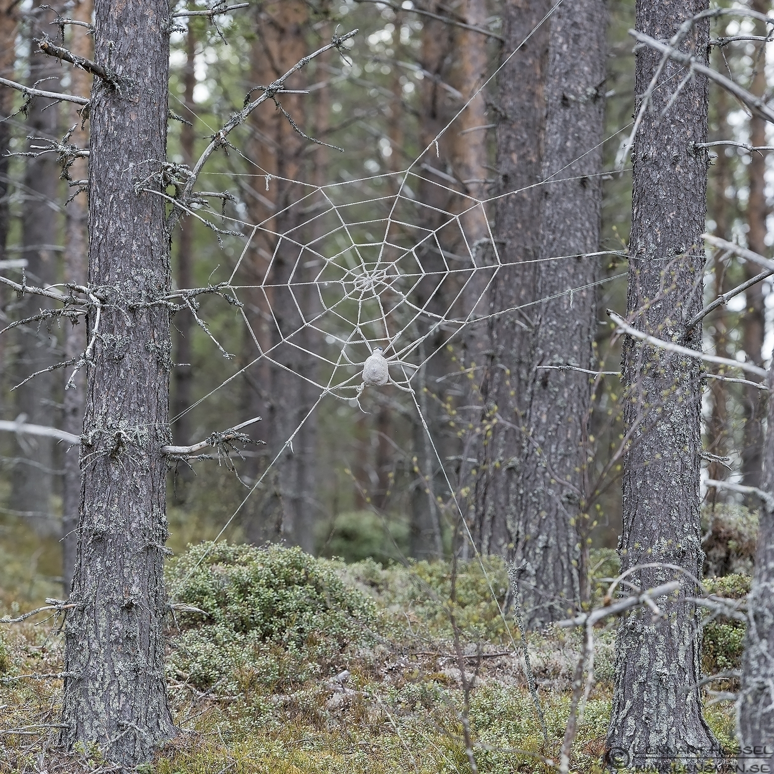 Spider web Scandes