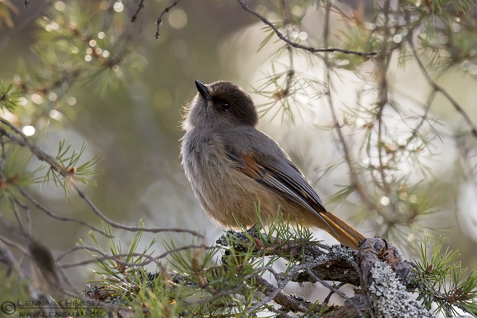 Siberian Jay backlight Scandes
