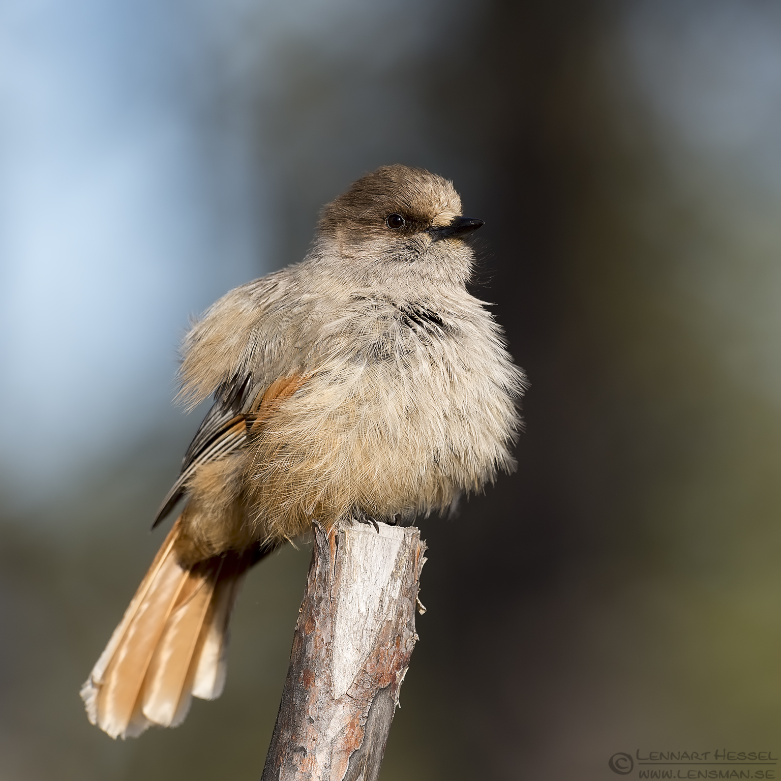 Fluffy Siberian Jay Scandes